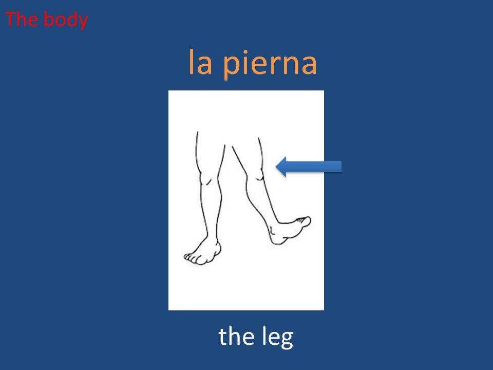 The body la pierna the leg