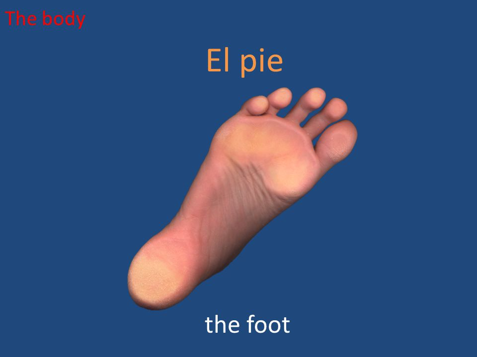 The body El pie the foot