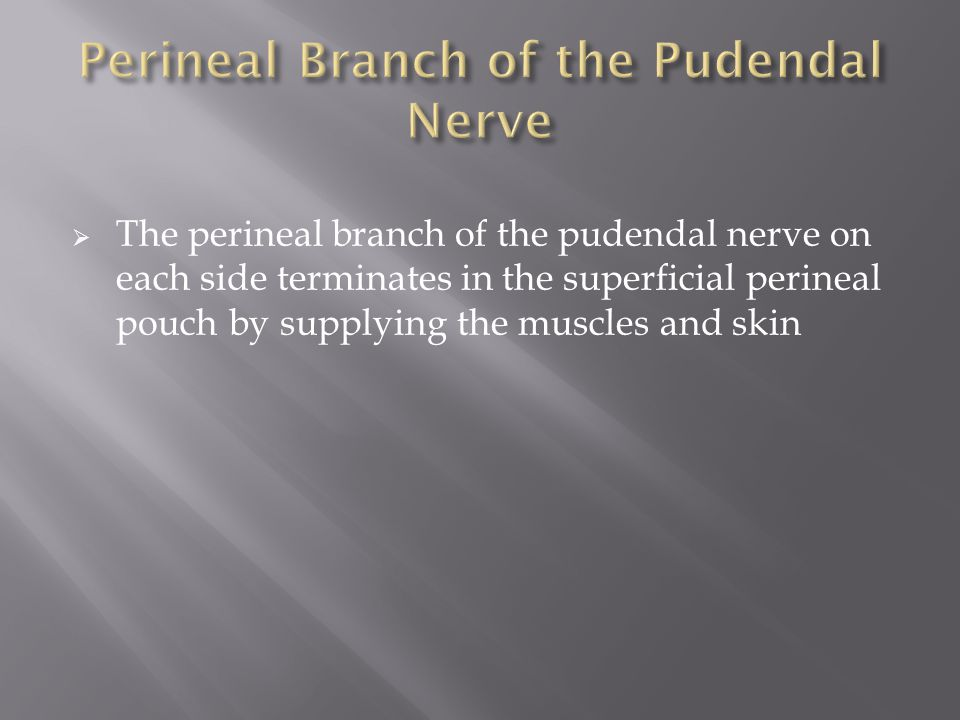 Perineal Branch of the Pudendal Nerve
