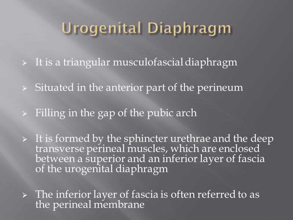Urogenital Diaphragm It is a triangular musculofascial diaphragm