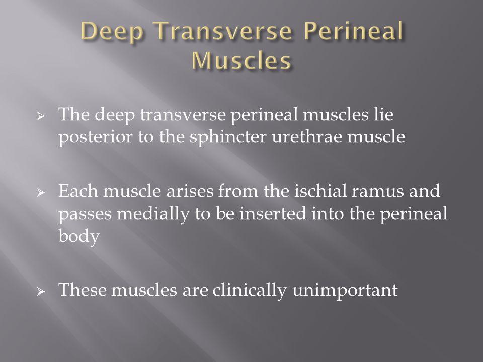 Deep Transverse Perineal Muscles