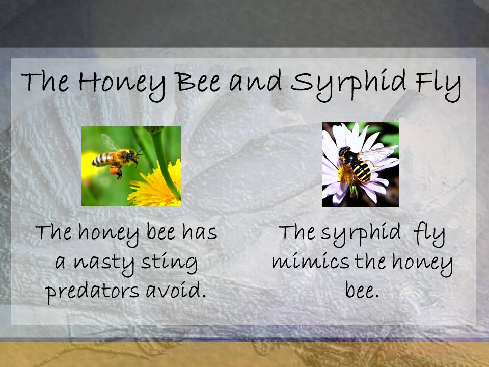 The Honey Bee and Syrphid Fly