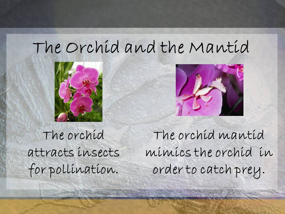 The Orchid and the Mantid