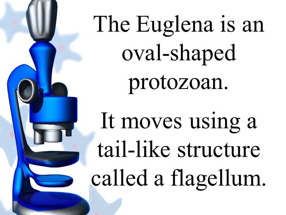 The Euglena is an oval-shaped protozoan.