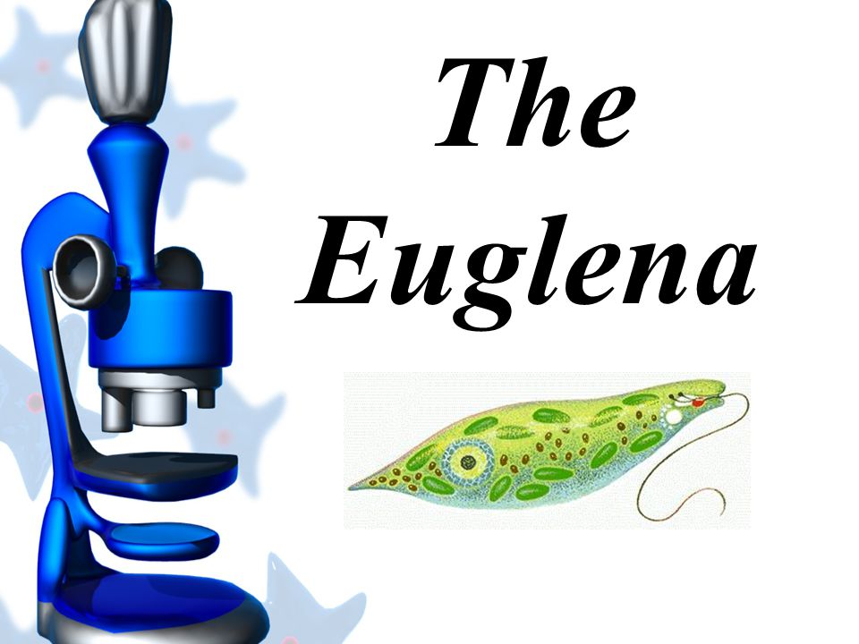The Euglena