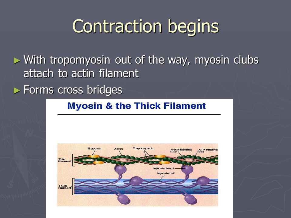 Contraction begins With tropomyosin out of the way, myosin clubs attach to actin filament.