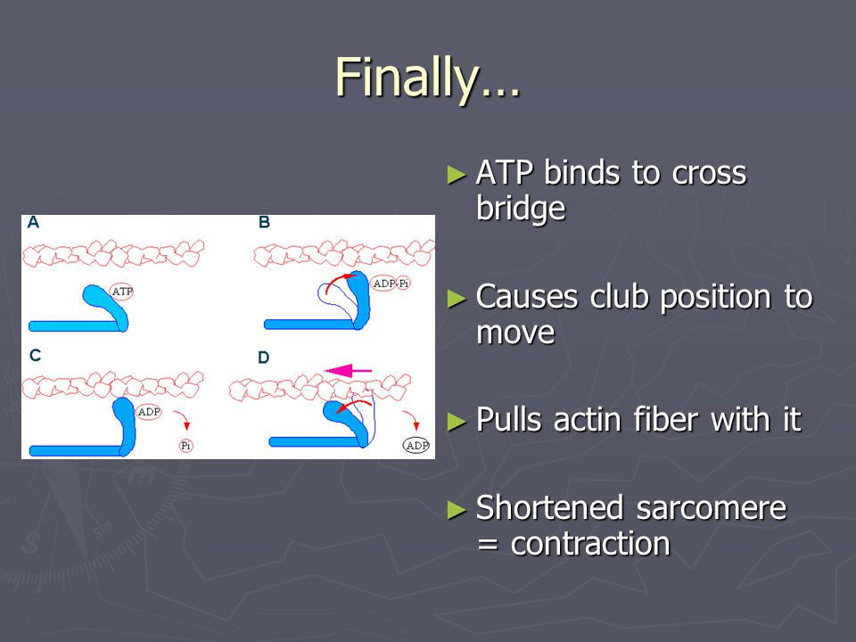 Finally… ATP binds to cross bridge Causes club position to move