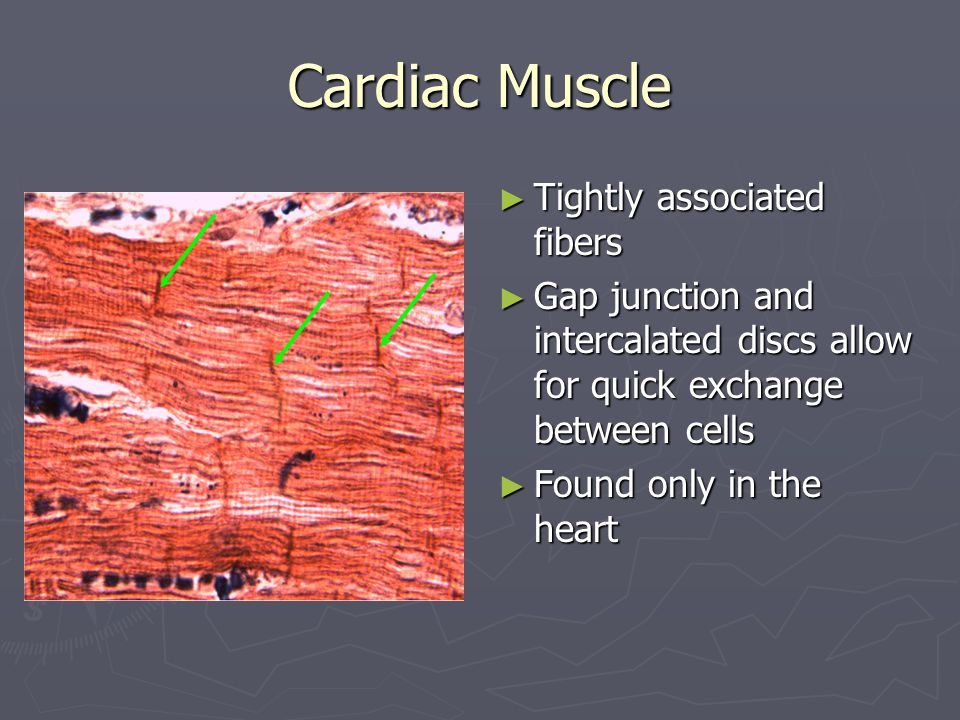 Cardiac Muscle Tightly associated fibers