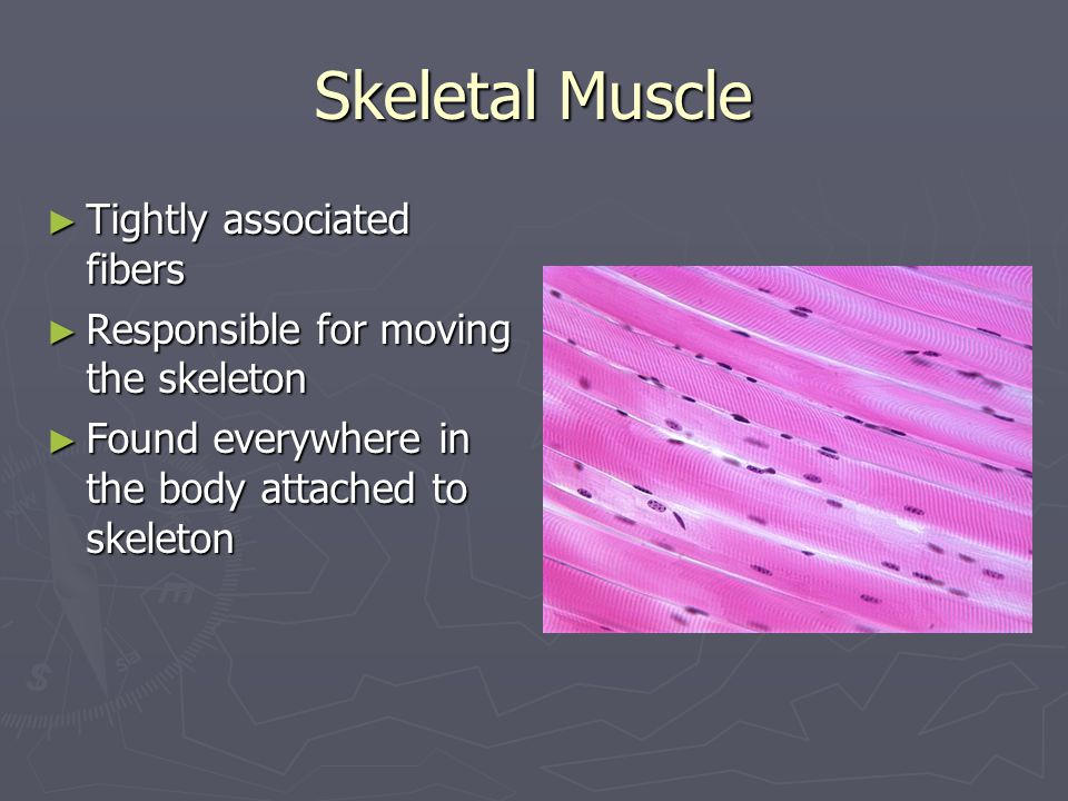 Skeletal Muscle Tightly associated fibers