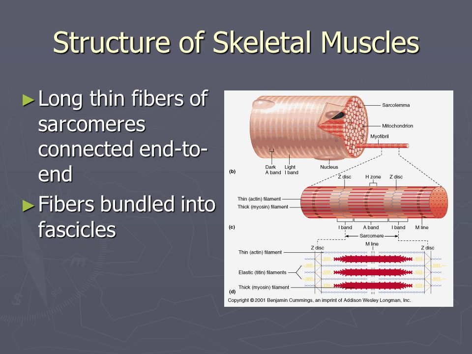 Structure of Skeletal Muscles