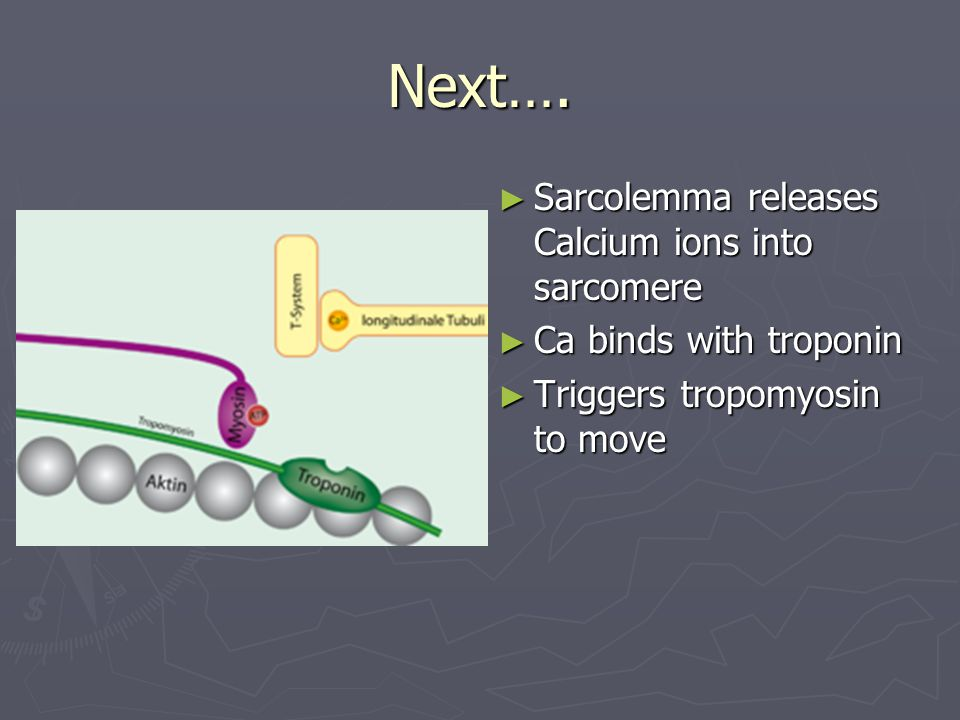 Next…. Sarcolemma releases Calcium ions into sarcomere