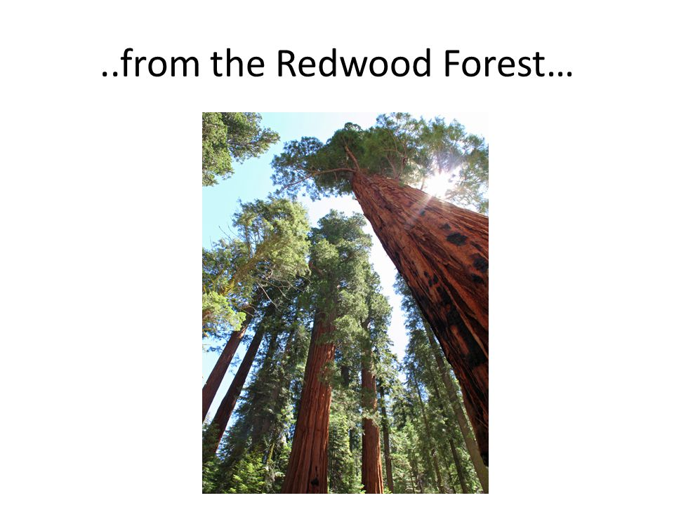 ..from the Redwood Forest…