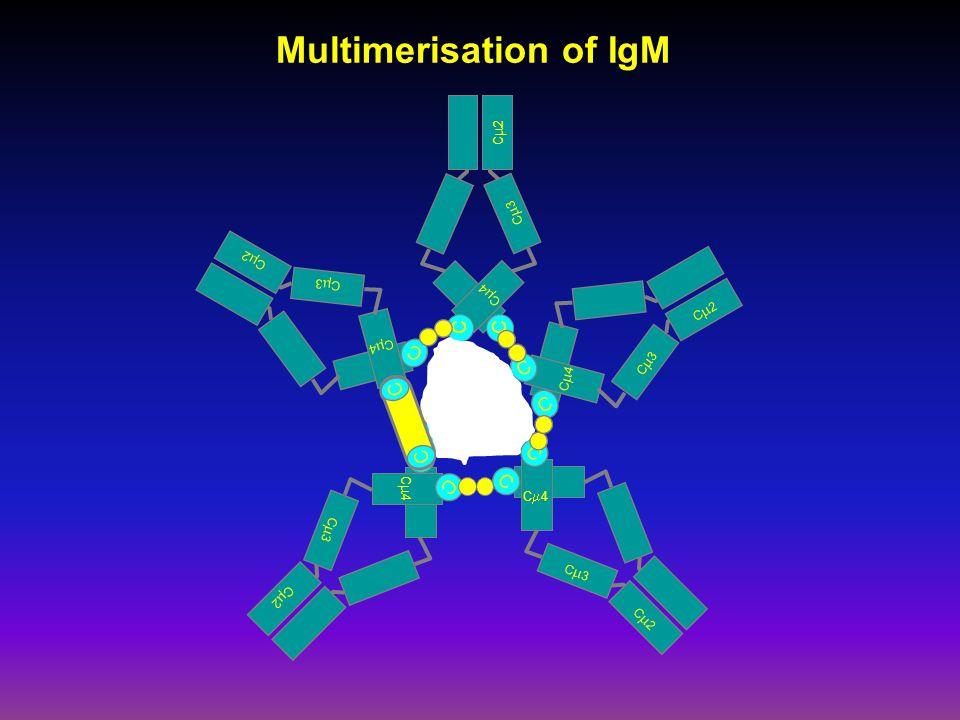 Multimerisation of IgM