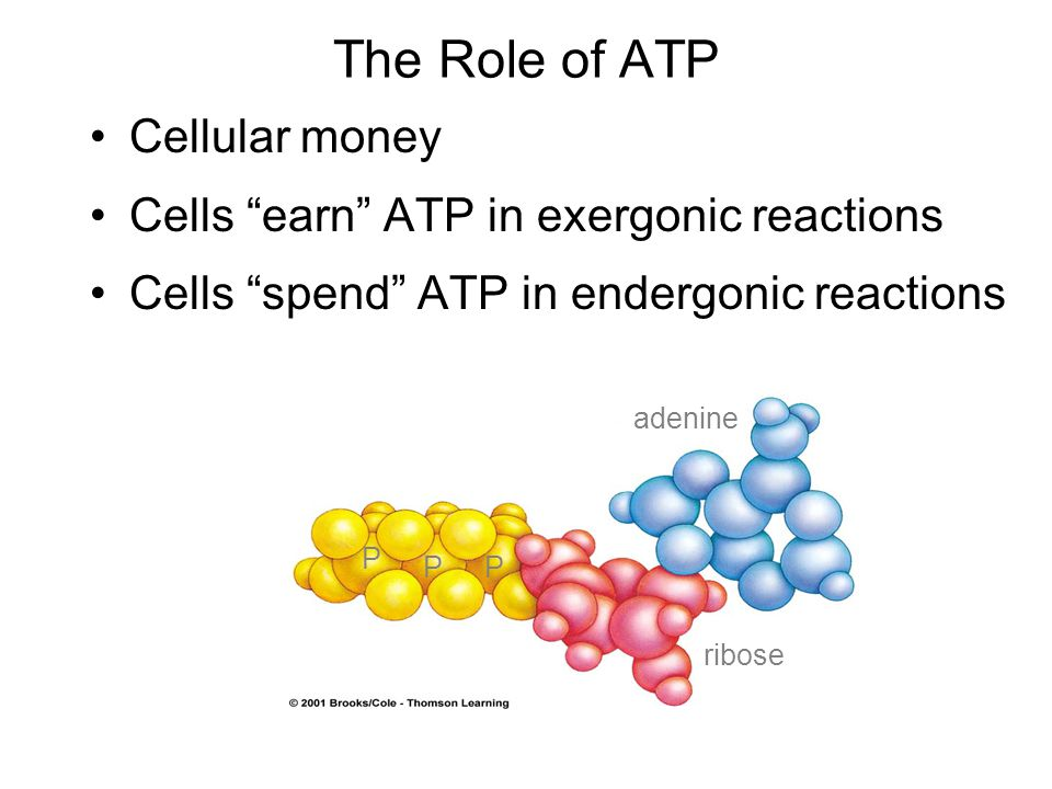 The Role of ATP Cellular money Cells earn ATP in exergonic reactions