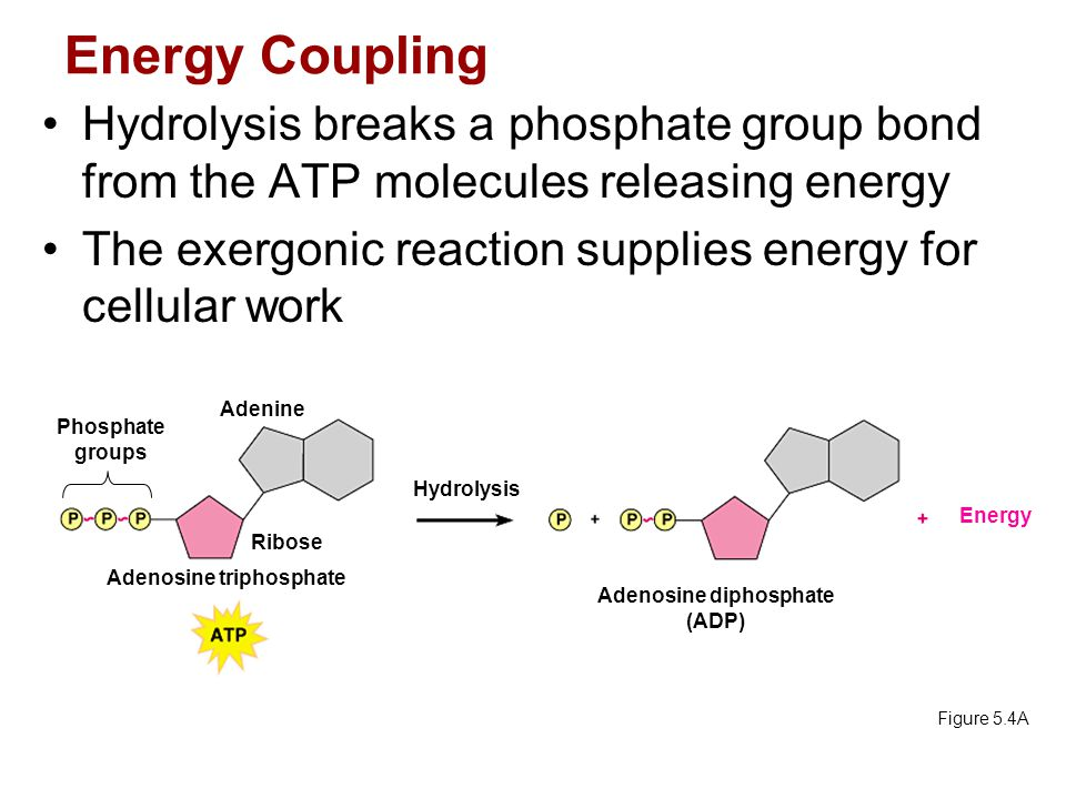 Adenosine triphosphate Adenosine diphosphate (ADP)