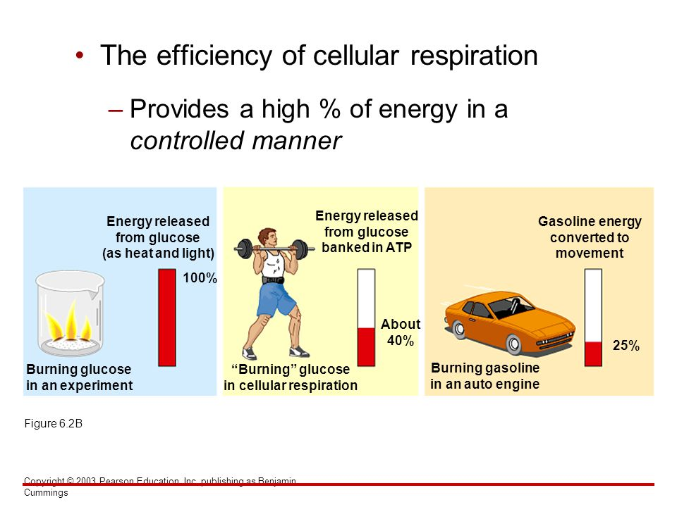 The efficiency of cellular respiration