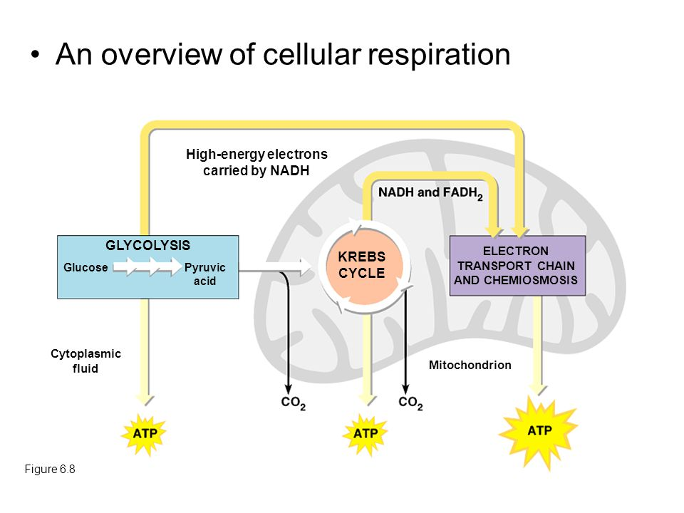 An overview of cellular respiration