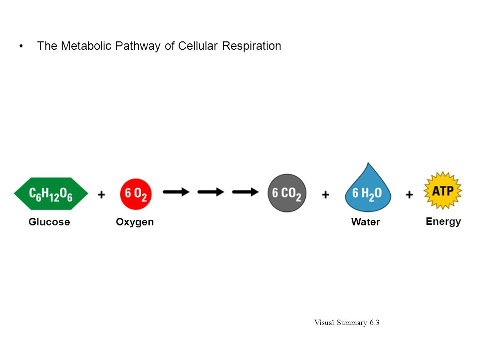 The Metabolic Pathway of Cellular Respiration