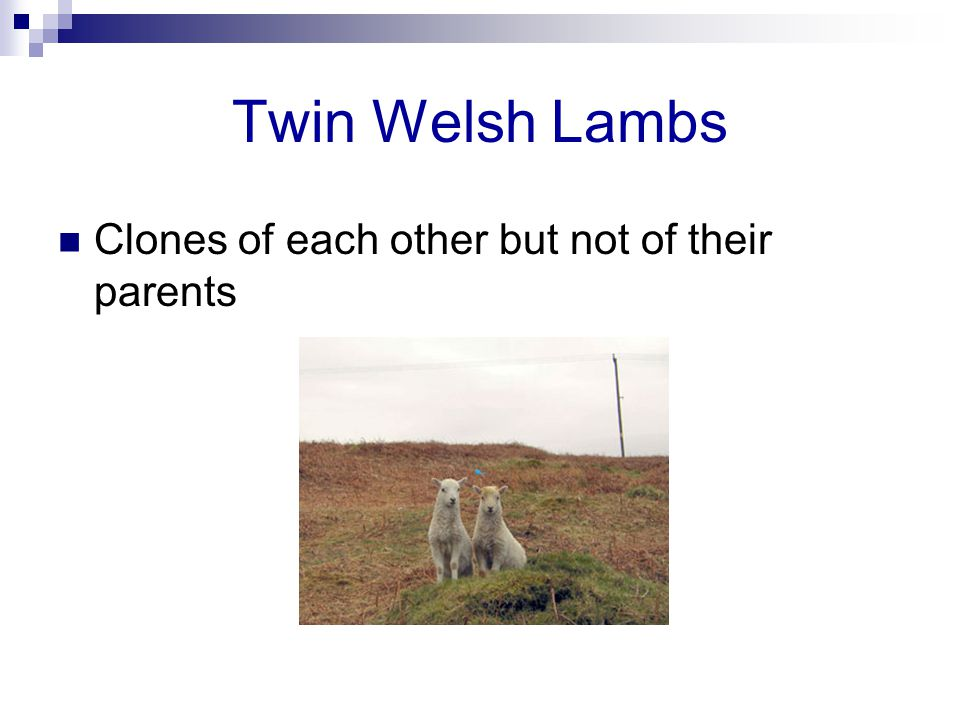 Twin Welsh Lambs Clones of each other but not of their parents