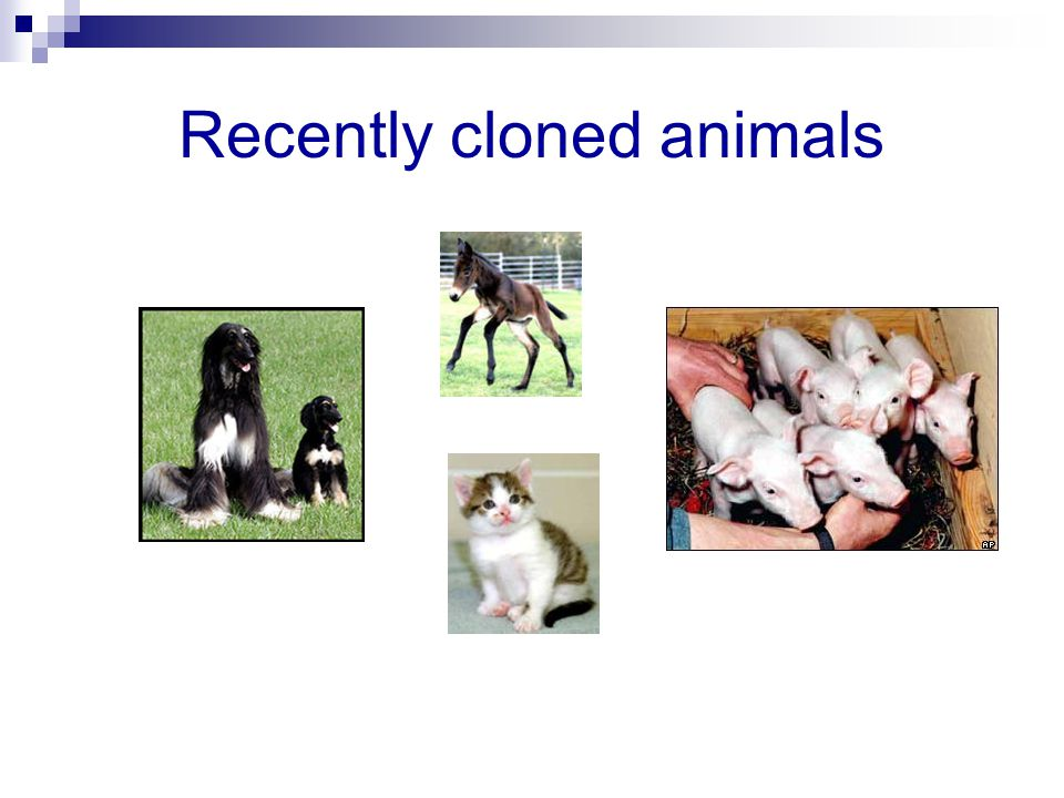 Recently cloned animals