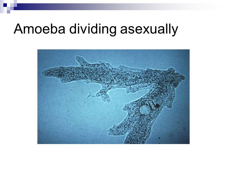 Amoeba dividing asexually