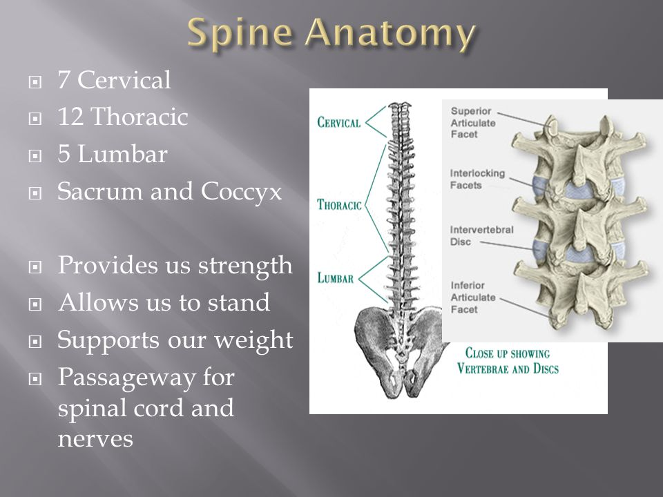 Spine Anatomy 7 Cervical 12 Thoracic 5 Lumbar Sacrum and Coccyx