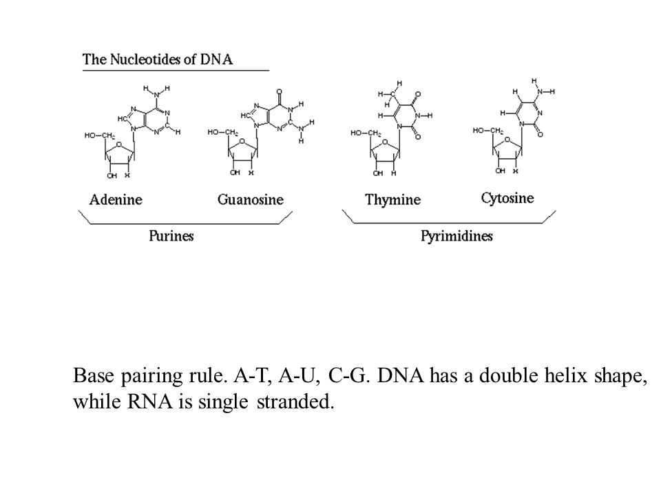 Base pairing rule. A-T, A-U, C-G