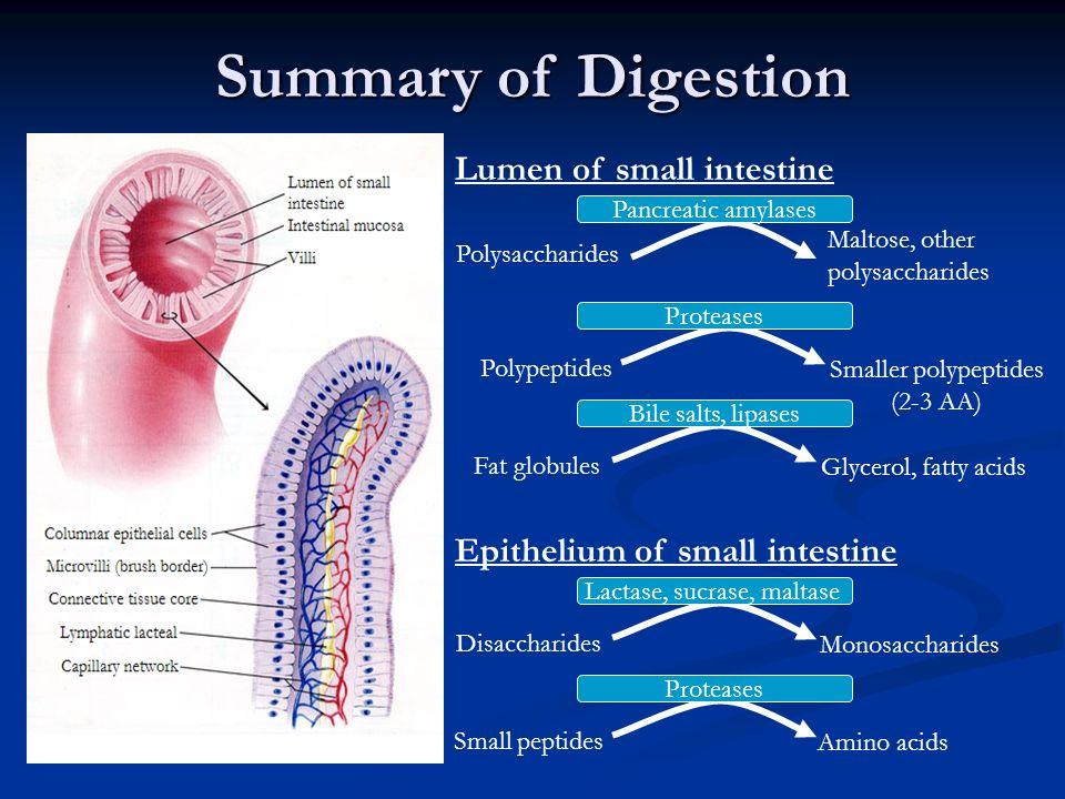Summary of Digestion Lumen of small intestine