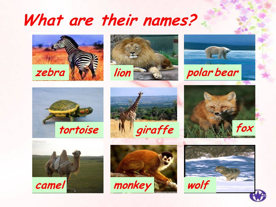 What are their names zebra lion polar bear fox tortoise giraffe camel