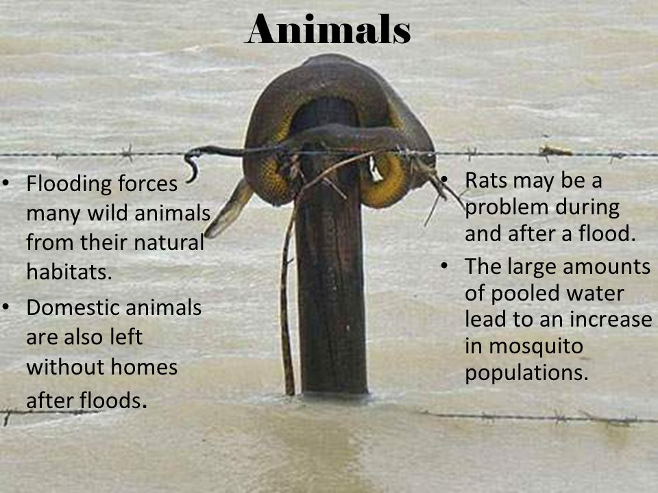 Animals Flooding forces many wild animals from their natural habitats.