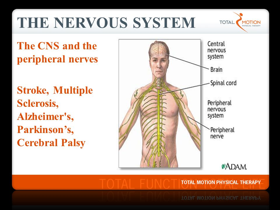 The Nervous System The CNS and the peripheral nerves