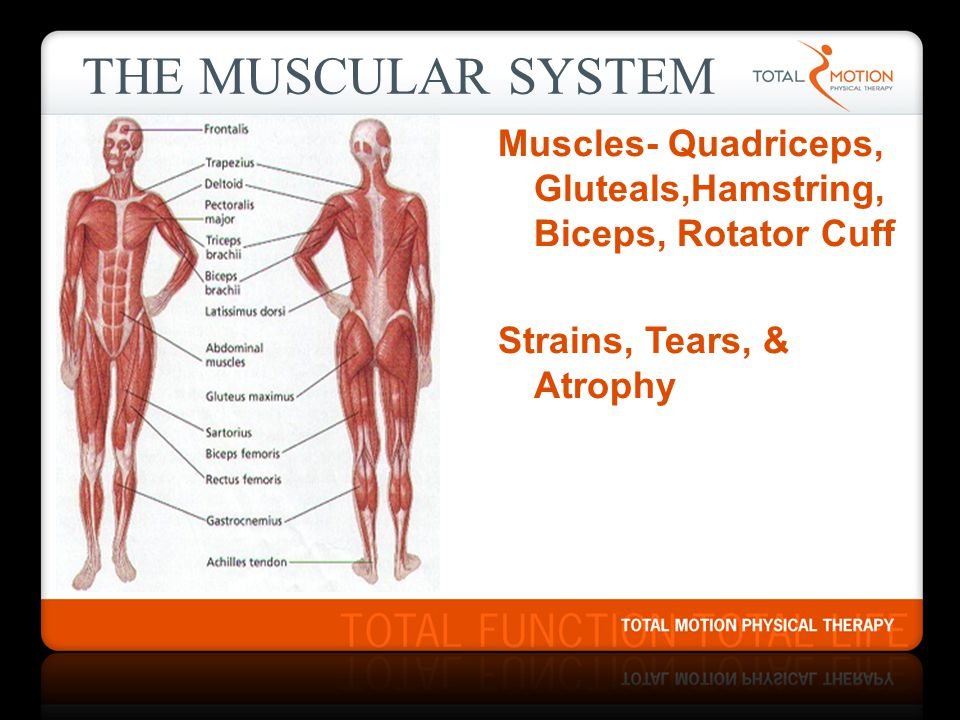 The Muscular System Muscles- Quadriceps, Gluteals,Hamstring,Biceps, Rotator Cuff Strains, Tears, & Atrophy