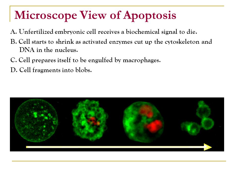 Microscope View of Apoptosis