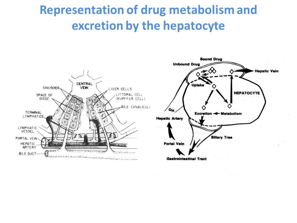 Representation of drug metabolism and excretion by the hepatocyte