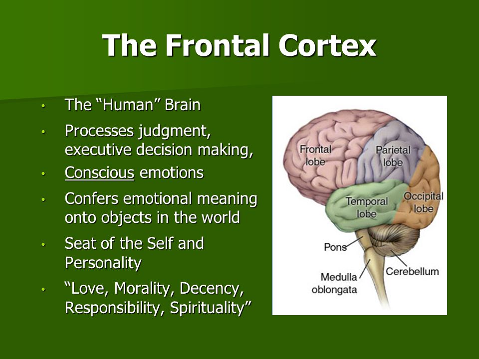 The Frontal Cortex The Human Brain