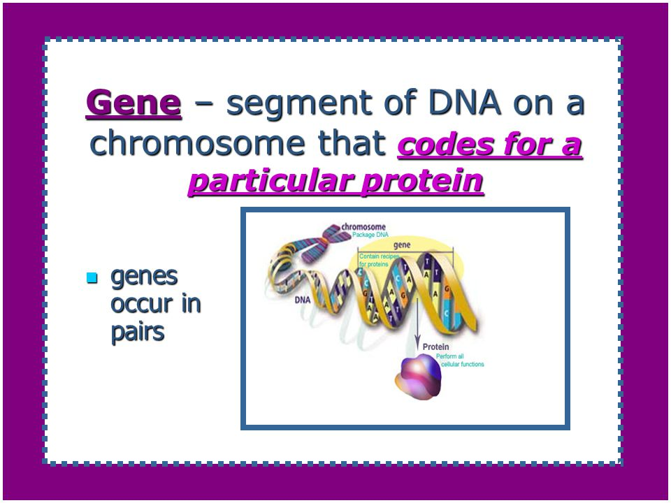 Gene – segment of DNA on a chromosome that codes for a particular protein