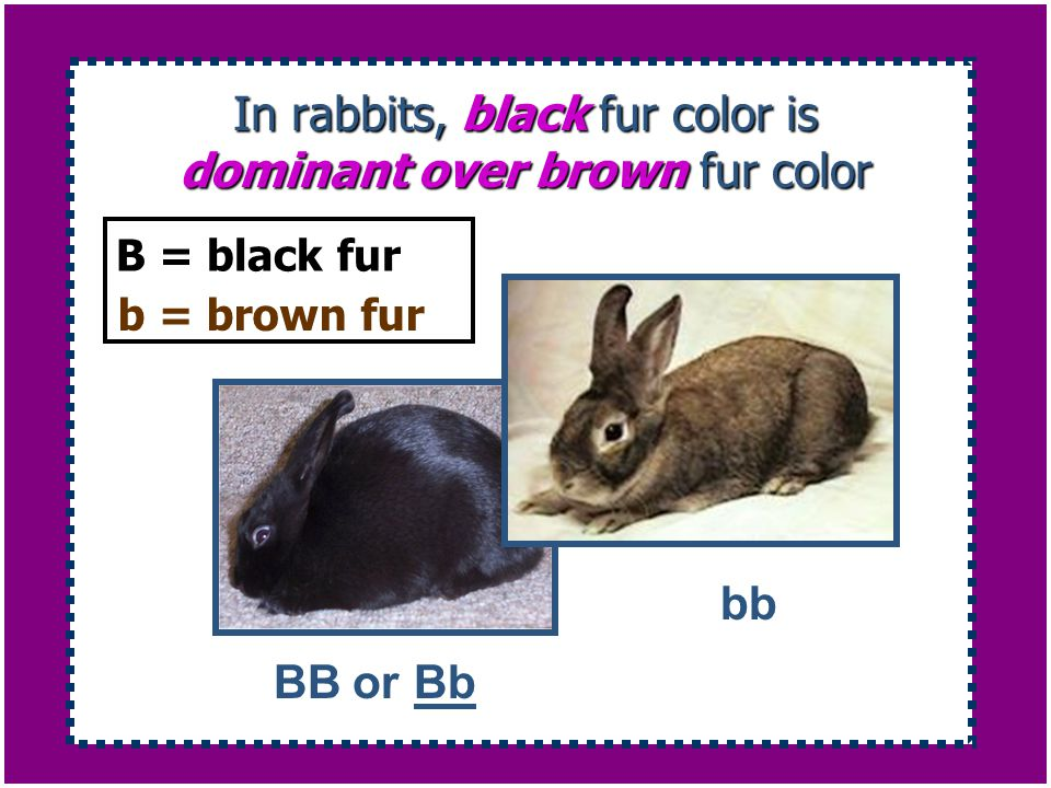In rabbits, black fur color is dominant over brown fur color