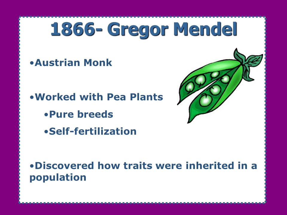1866- Gregor Mendel Austrian Monk Worked with Pea Plants Pure breeds
