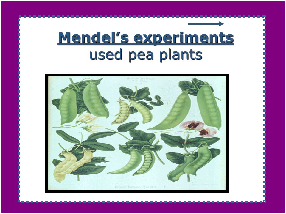 Mendel's experiments used pea plants