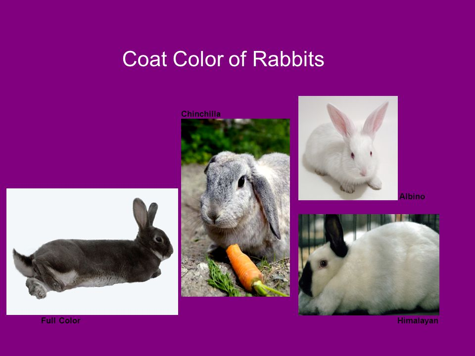 Coat Color of Rabbits Chinchilla Albino Option 2 Full Color Himalayan