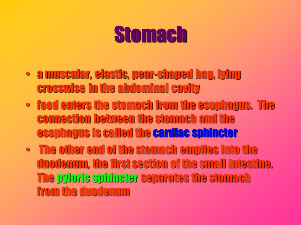 Stomach a muscular, elastic, pear-shaped bag, lying crosswise in the abdominal cavity.