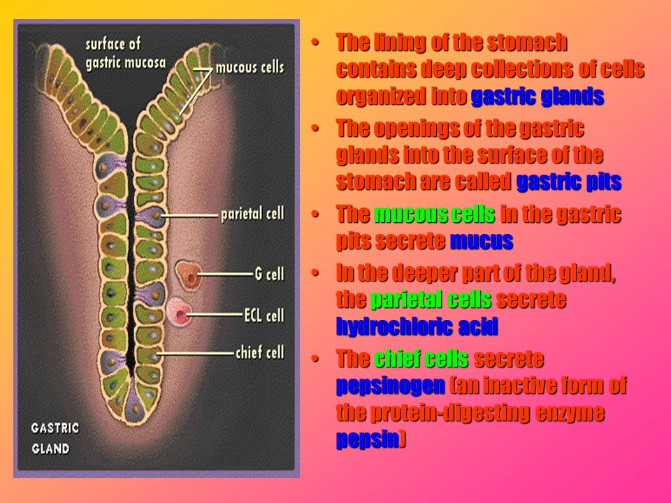The lining of the stomach contains deep collections of cells organized into gastric glands