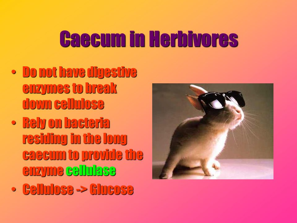 Caecum in Herbivores Do not have digestive enzymes to break down cellulose.