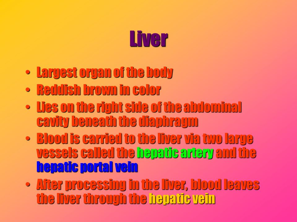 Liver Largest organ of the body Reddish brown in color