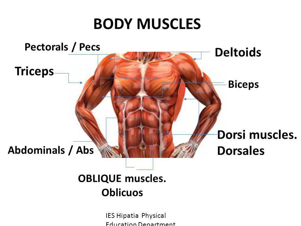 OBLIQUE muscles. Oblicuos