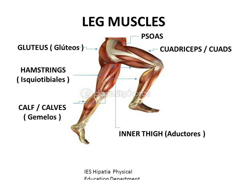 LEG MUSCLES PSOAS GLUTEUS ( Glúteos ) CUADRICEPS / CUADS