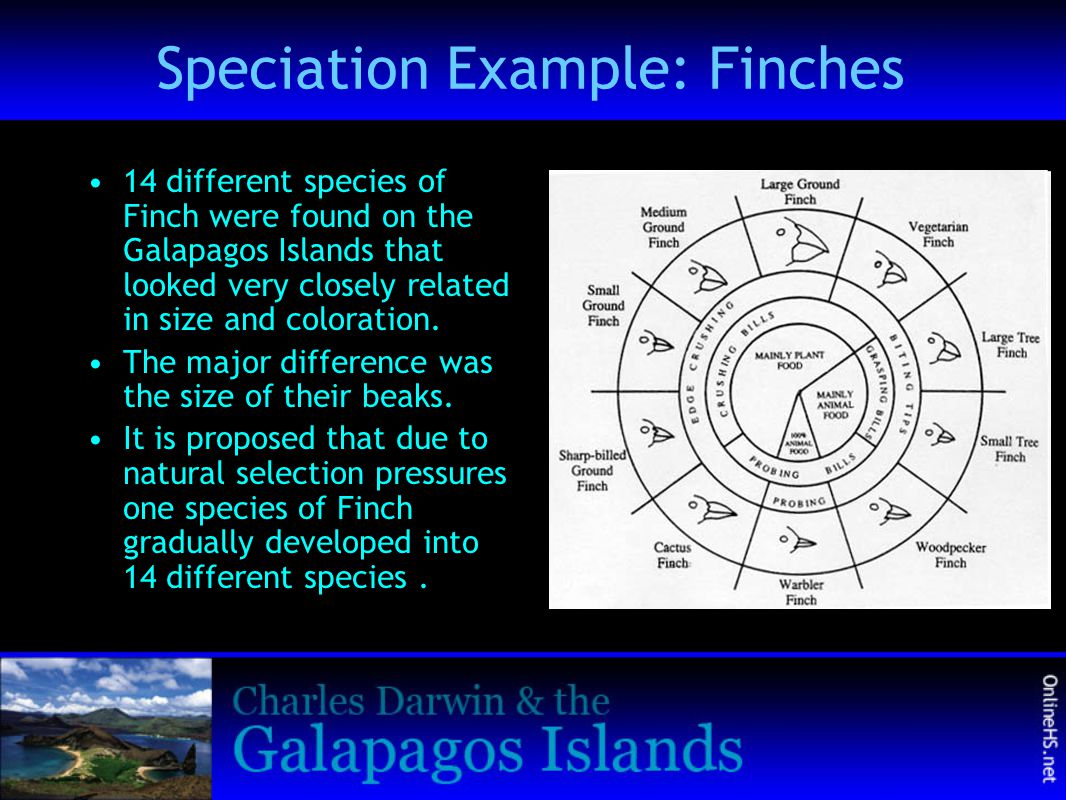 Speciation Example: Finches
