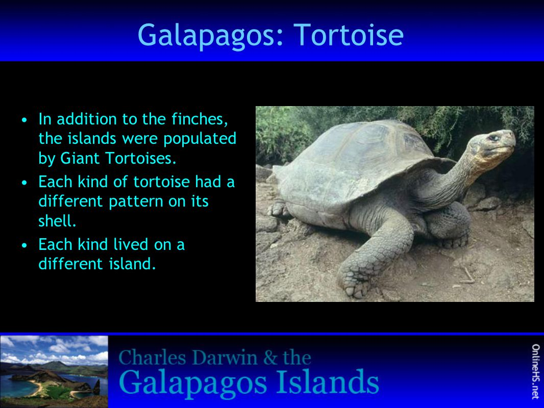 Galapagos: Tortoise In addition to the finches, the islands were populated by Giant Tortoises.