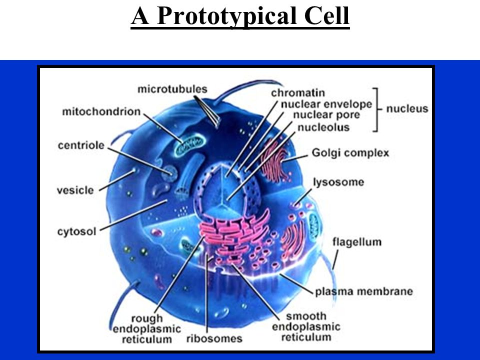 A Prototypical Cell