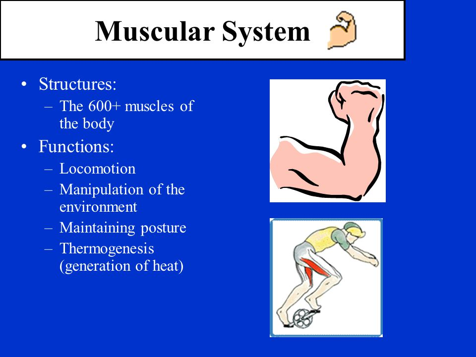 Muscular System Structures: Functions: The 600+ muscles of the body
